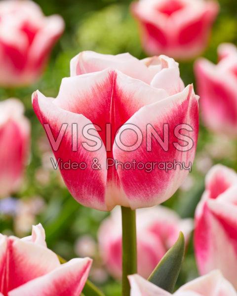 Tulipa Lorely