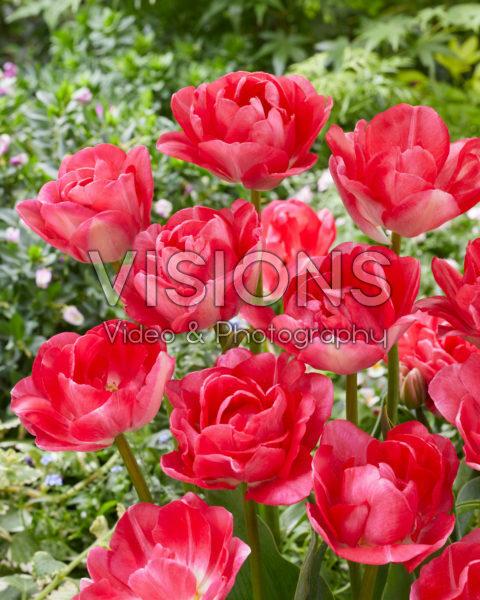 Tulipa Princess Angelique