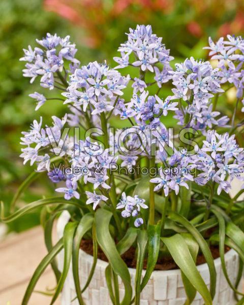 Hyacinthoides mauritanica