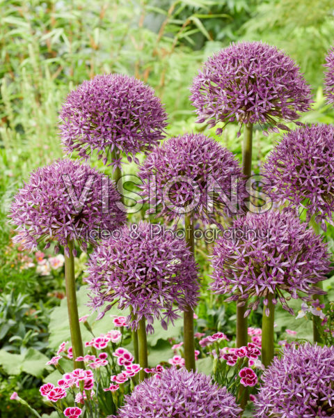 Allium Jackpot