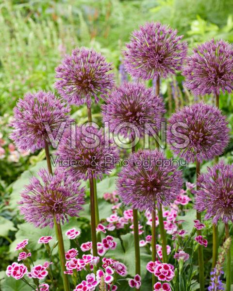 Allium Little Dean