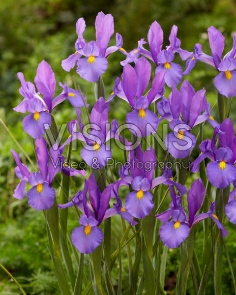 Iris Ultra Violet