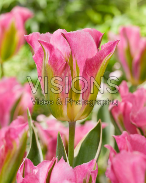 Tulipa Pink Artist