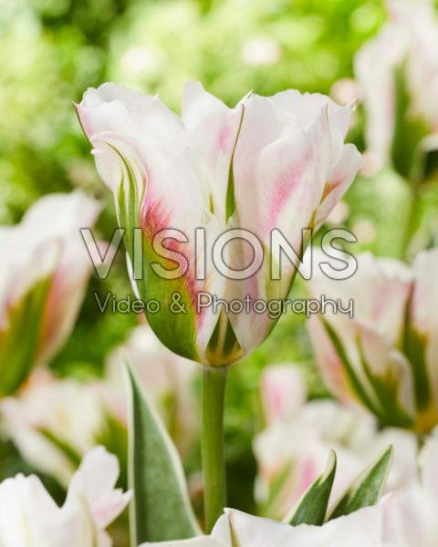 Tulipa Blushing Artist