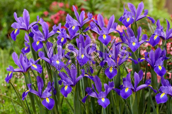 Iris Valentine