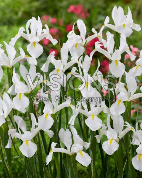 Iris Alaska