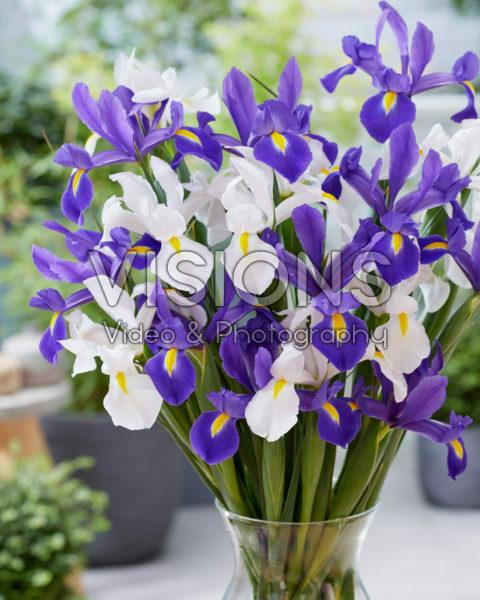 Iris Alaska, Valentine