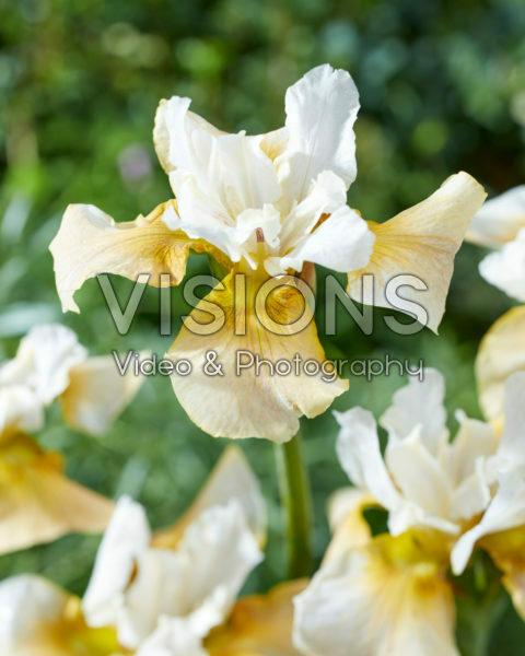 Iris sibirica 2015-15