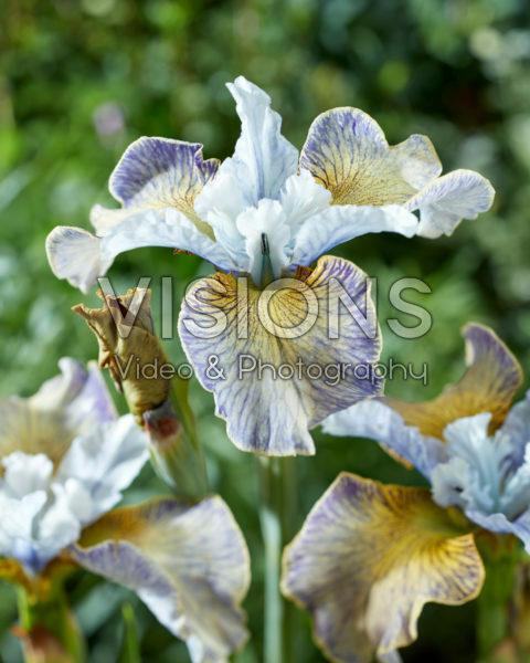 Iris sibirica 2016-11
