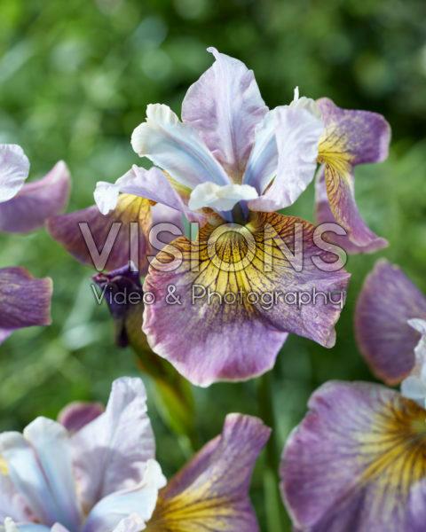Iris sibirica 2015-01