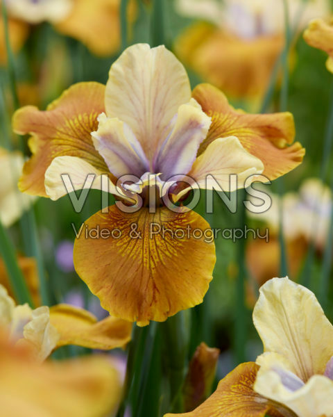 Iris sibirica Colonel Mustard