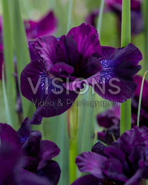 Iris sibirica Purplelicious