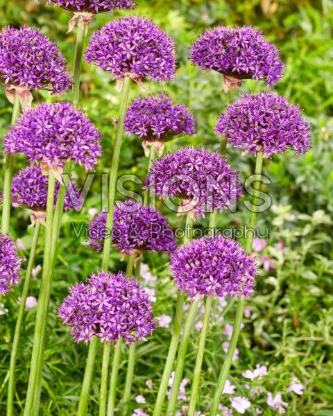 Allium Parijs