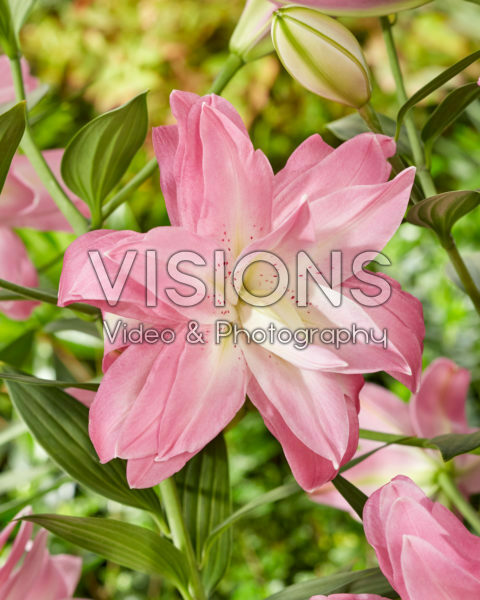 Lilium Lotus Breeze