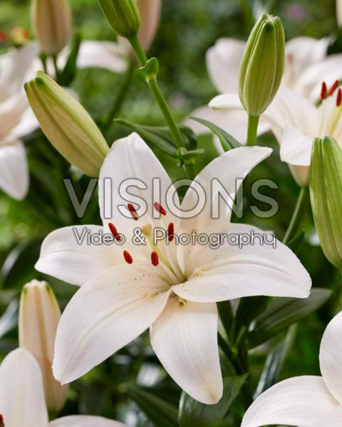 Lilium Coral County