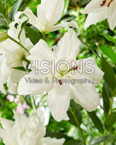 Lilium Lotus Pure
