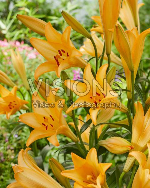 Lilium Lotus Dream