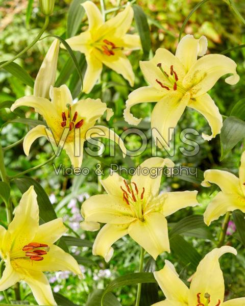 Lilium Gold Fever