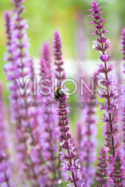 Bumblebee on Salvia nemorosa