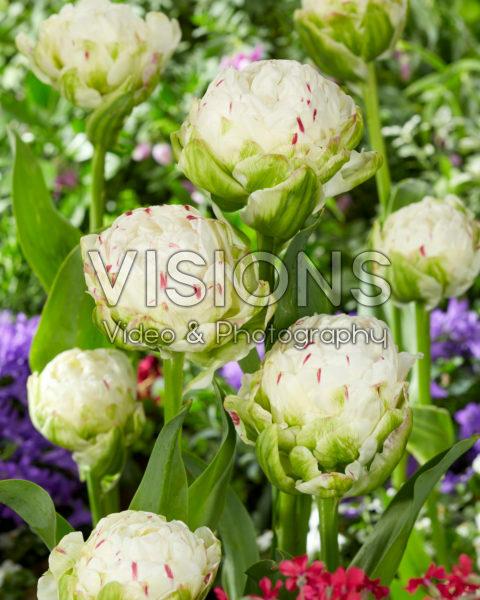Tulipa Danceline
