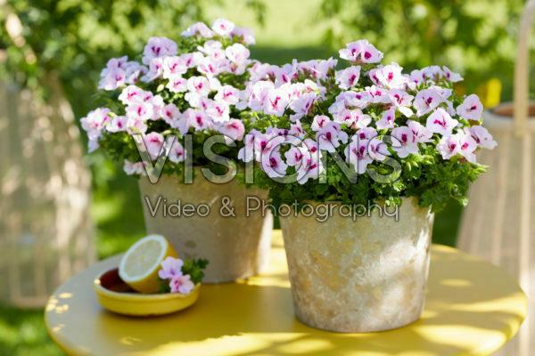 Pelargonium Angel Sophie