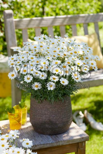Argyranthemum Simba® White