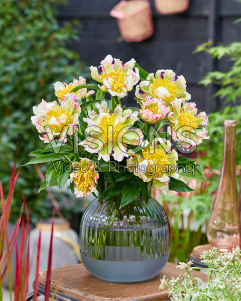 Paeonia Peppermint Stick