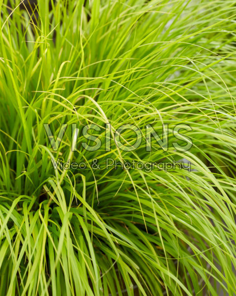 Pennisetum alopecuroides Lumen Gold