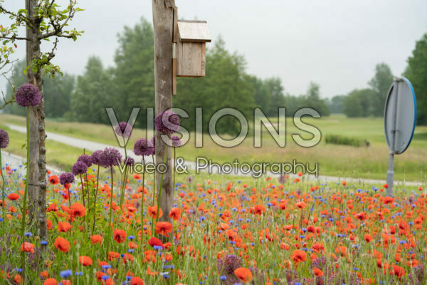 Poppies at roundabout