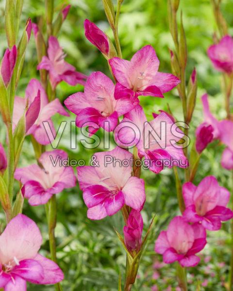 Gladiolus nanus Summer Jewel