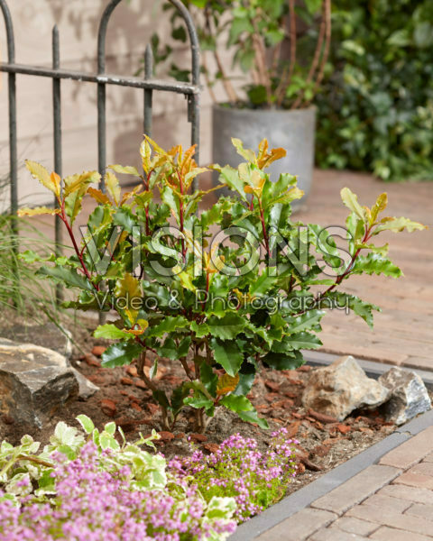 Photinia serratifolia Crunchy