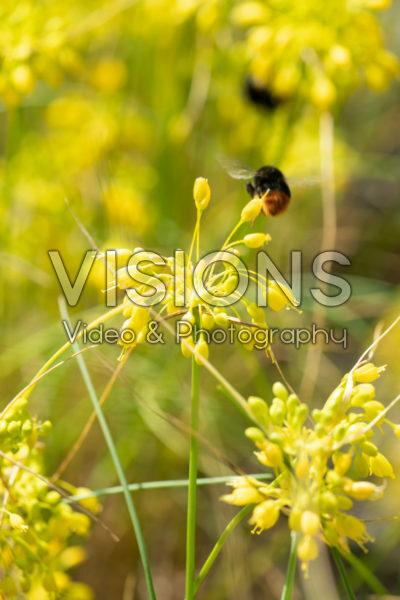 Allium flavum subsp. flavum