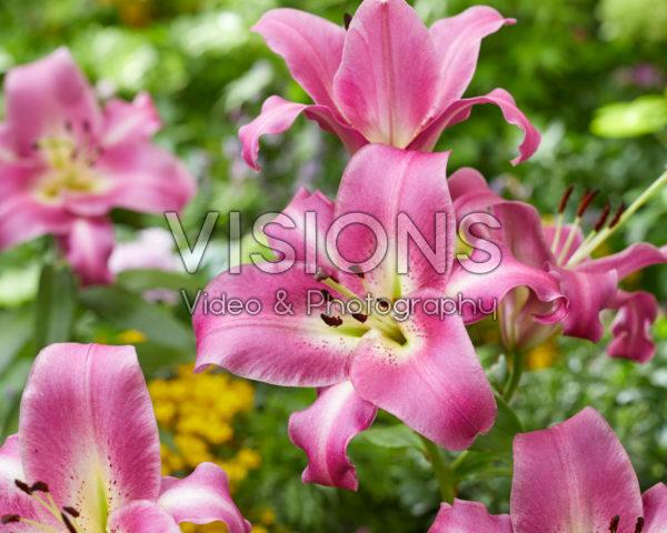 Lilium Purple Lady