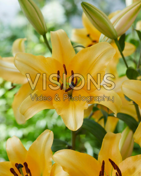 Lilium Corcovado