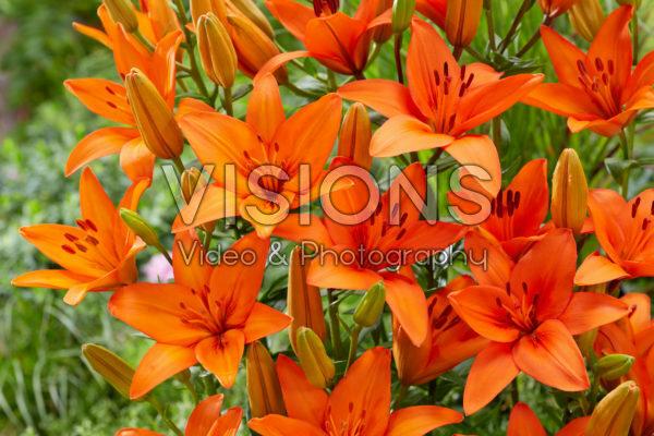Lilium Orange Summer Lilium Orange Summer