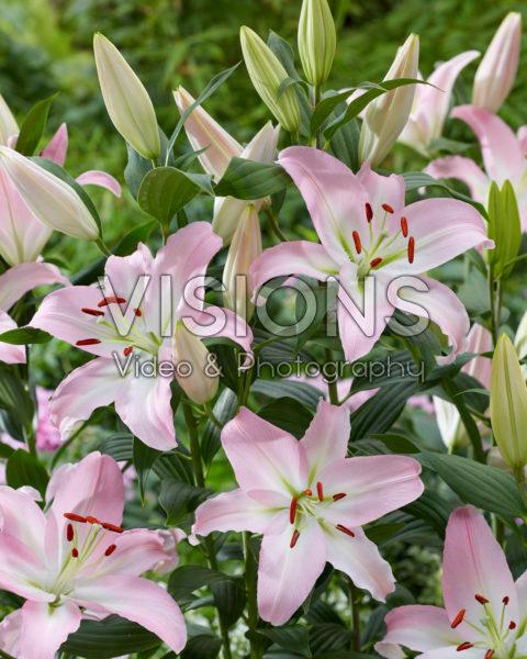 Lilium Pink Nieuws