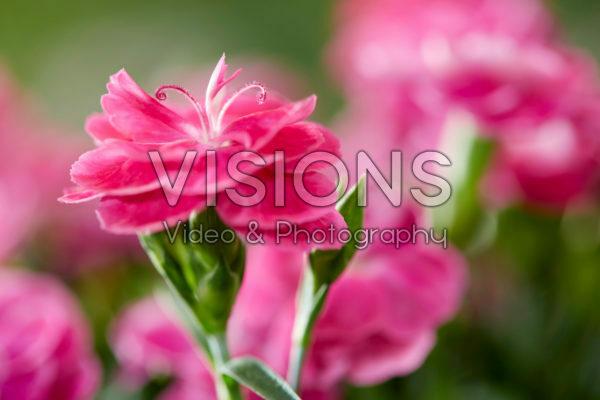 Dianthus caryophyllus Peman