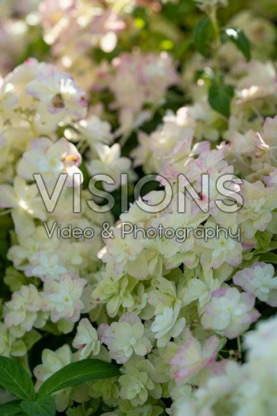 Hydrangea serrata Summer Glow