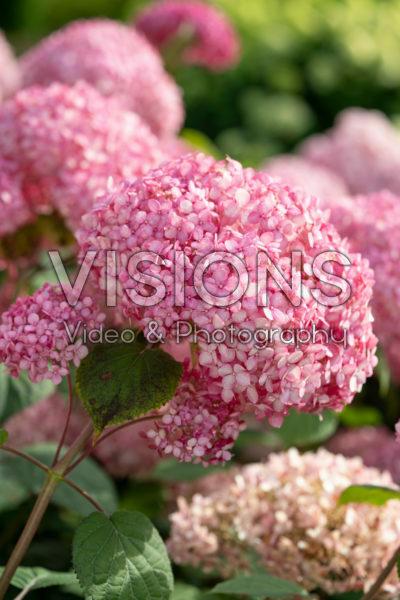 Hydrangea arborescens Pink Annabelle