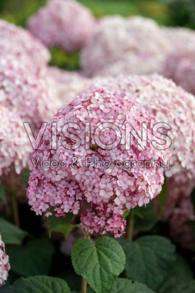 Hortensia arborescens Sweet Annabelle