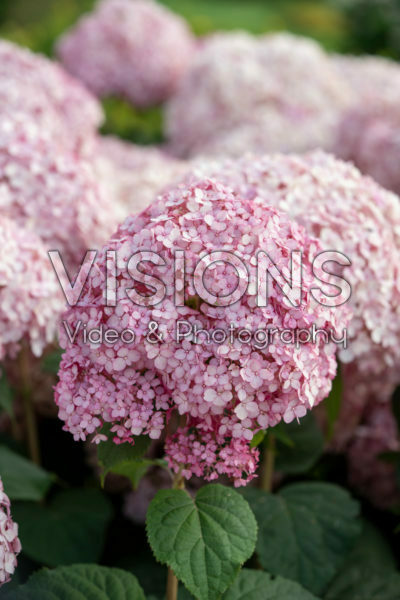 Hydrangea arborescens Sweet Annabelle