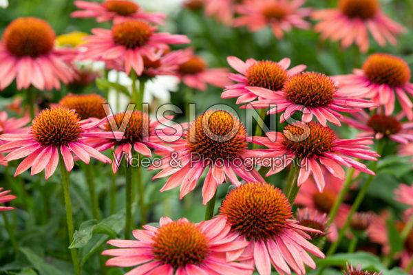 Echinacea Mooodz® Satisfy