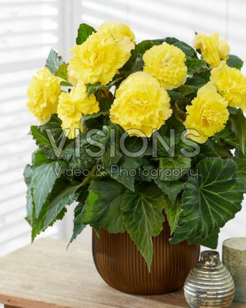 Begonia AmeriHybrid® Ruffled Yellow