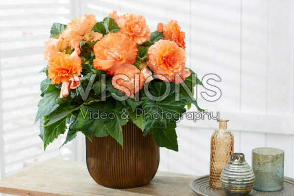 Begonia AmeriHybrid® Ruffled Apricot