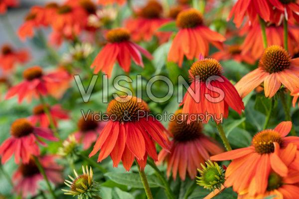 Echinacea Lakota™ Orange