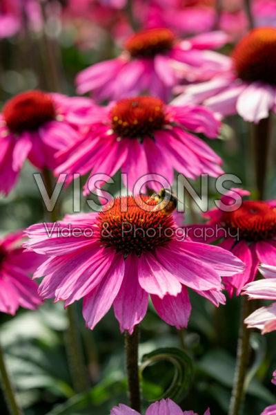 Echinacea Sombrero Rose