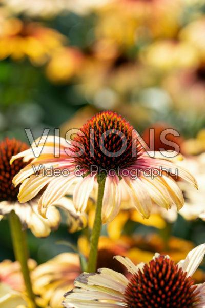 Echinacea Sombrero Special Yellow Red