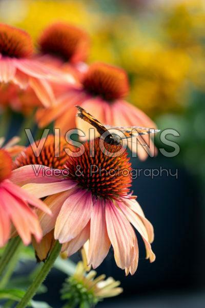 Echinacea Lakota™ Red