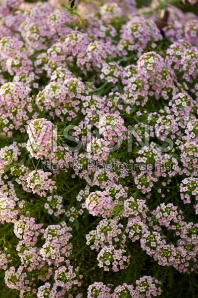 Lobularia Easy Breezy™ Pink