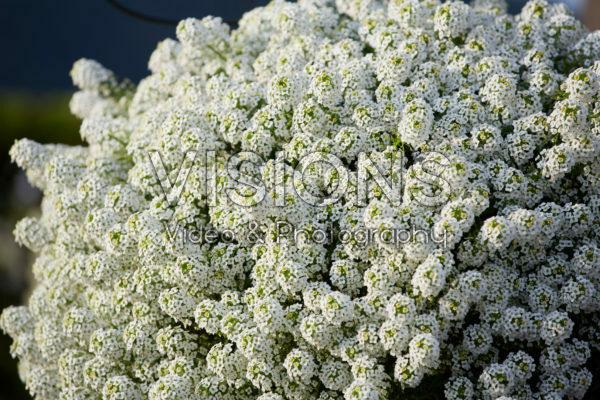 Lobularia Easy Breezy™ White